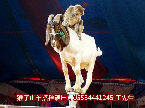 羊驼租赁-动物表演-长沙市