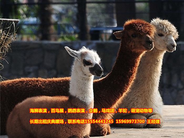 蓝翔动物表演出租为您提供马戏团动物表演哪里有江苏省。马戏团动物表演哪里有江苏省 山东蓝翔动物租赁公司,业务有:海狮表演,海豹展览、海洋展览、蝴蝶展览、百鸟园展览出租、鹦鹉表演出租,马戏团表演,企鹅展览,羊驼出租,萌宠动物租赁。我们公司的动物虽然来自不同的地方和不同的海域,但都经过了特殊的训练,因此变得尤为通人性,也尤为可爱,可谓萌意十足,让不少游客期待不已。对于远离海洋的内陆地区游客来说,能够在家门口看到极地海洋动物表演,感受来自北极和南极以及深海世界的氛围,将显得神秘而又奇妙。 wei信电话:.