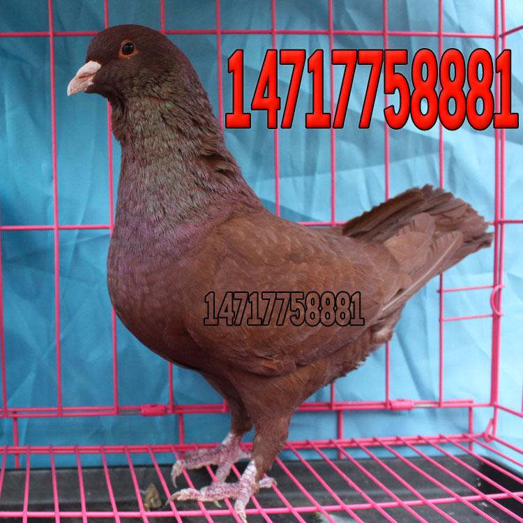 观赏鸽魔术鸽公司出售肉鸽元宝鸽观赏鸽
