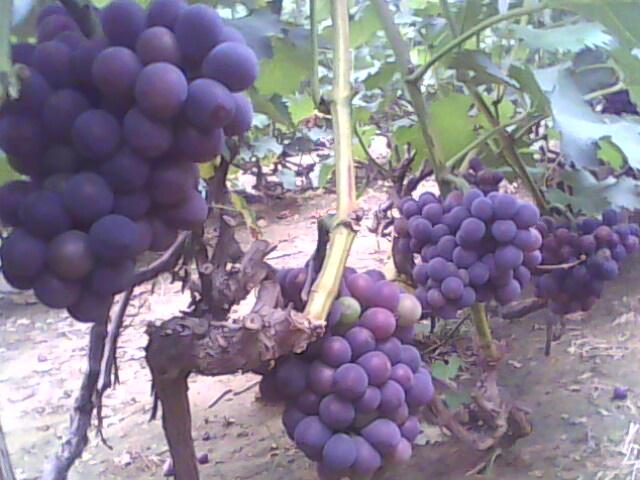 山东葡萄基地冶源万亩葡萄