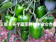 玉田县圆椒种植基地