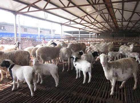 景德镇哪里有卖出售小尾寒羊繁殖母羊的