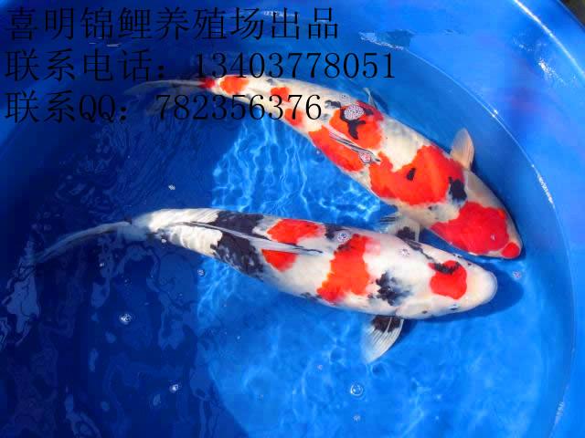 等十三大类几十个锦鲤品种和金 鱼类:珍珠,狮头,水泡,,琉金 鹤顶红
