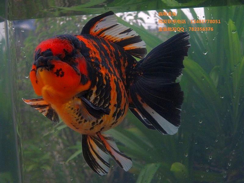 我公司现常年面向全国大量批发各类金鱼(鹤顶红,狮子头,红龙睛