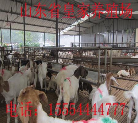 皇家大型波尔山羊养殖场_养羊_云商网图片