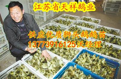 求购优质品种鹅苗鸭苗认准天祥鹅业