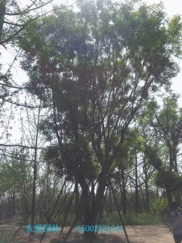 壁纸 树 榕树 375_500 竖版 竖屏 手机