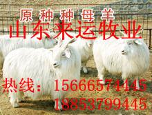 黑龙江七台河波尔羊羔多少钱、波尔山羊养殖技术