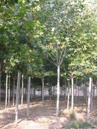 渑池县城市造林合欢树6公分