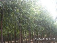 义马迎宾大道37公分国槐树