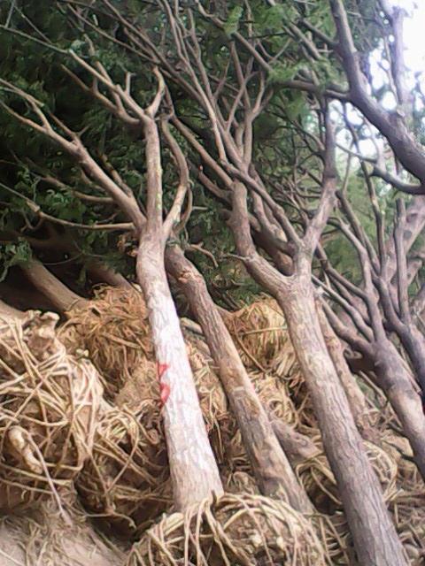 卢氏县环境保护5公分国槐树