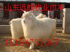 绒山羊肉羊种羊羊羔