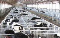 出售高产奶牛和小公牛小母牛小红牛小花牛