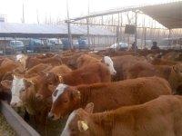 潍坊求购肉牛肉羊品种多少钱