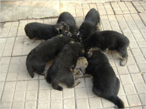 红达肉狗养殖场、红达肉狗养殖基地、山东红达肉狗养殖场行情