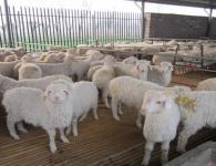 求购青山羊求购白山羊苗