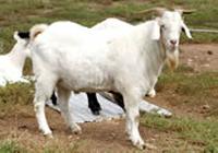 绒山羊绒山羊养殖场哪儿有绒山羊