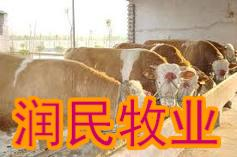吴川出售架子牛夏罗来牛