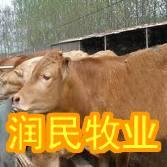 榆林出售架子牛利姆站牛