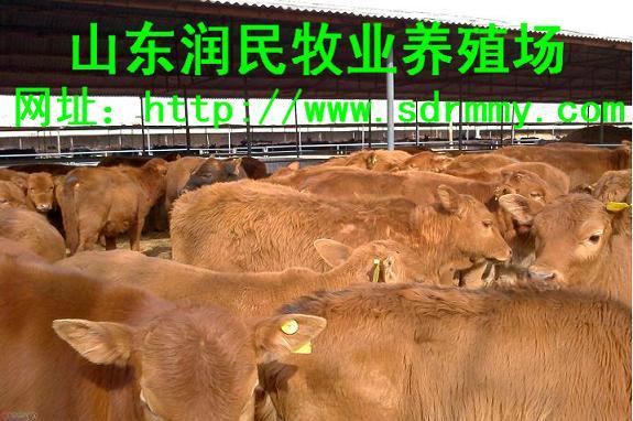 邛崃出售夏洛莱架子牛