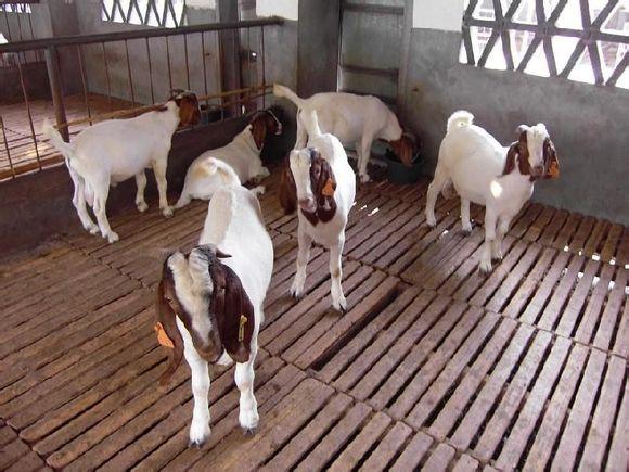 杜泊绵羊 杜泊绵羊价格 杜泊绵羊厂家 杜泊绵羊哪里有
