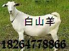 宜宾白山羊饲养