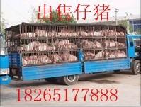 山东三元仔猪苗猪供应