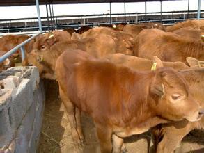 贵州求购成年小尾寒羊甘肃哪里有卖羊苗的吗