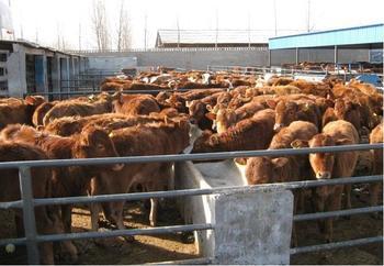 河北肉牛养殖场去哪里求购黄牛犊那