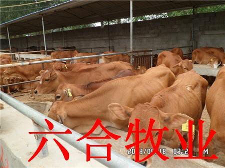 求购肉牛犊利木赞牛西门塔尔夏洛莱牛黄牛