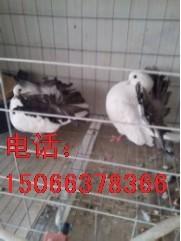 宏远种鸽养殖场