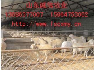 供应黑白花杜泊绵羊多少钱一只