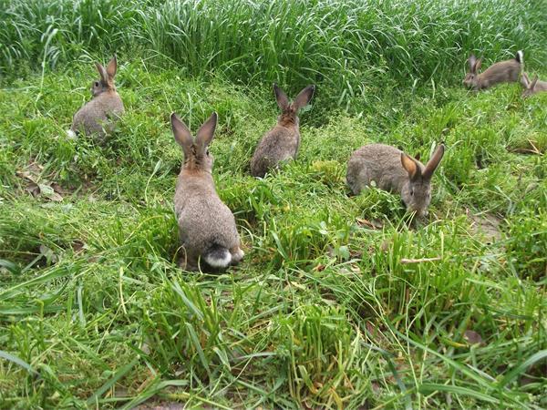 湖南野兔种苗价格
