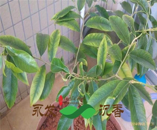 沉香树苗正宗奇楠品种越南