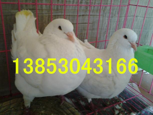 水浒种鸽养殖场