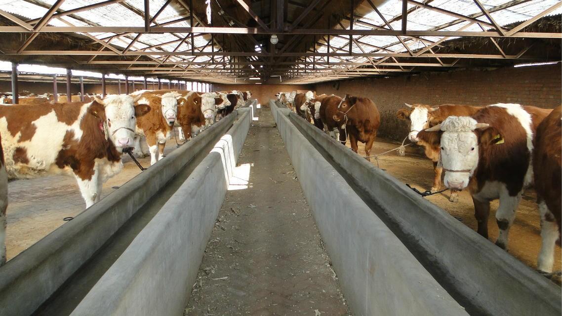 东北肉牛良种牛价格、东北良种黄牛犊价格、东北良种牛犊价格、东北良种牛犊行情、东北良种牛场