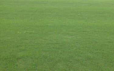 六安草坪绿色草坪种植