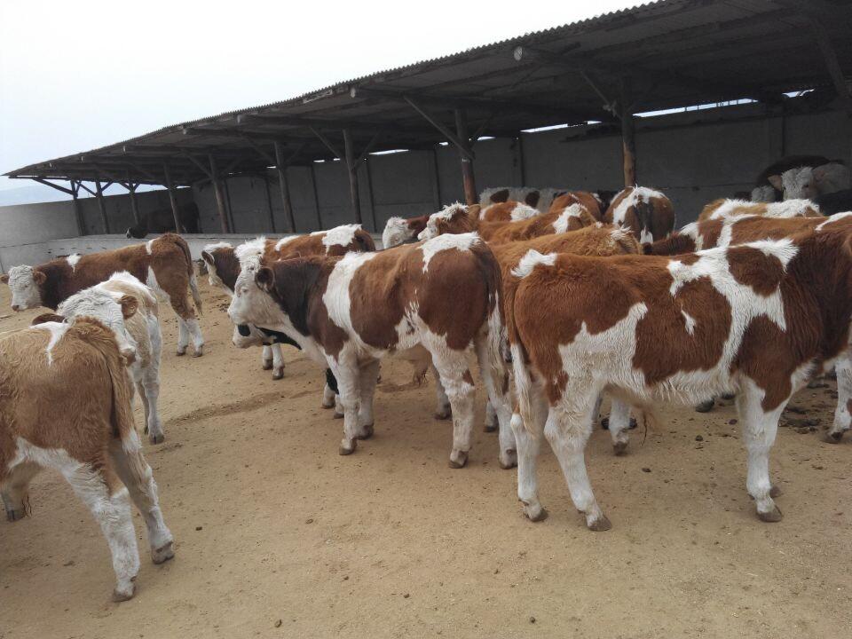 今日吉林肉牛�俳灰�r格 今日吉林肉牛�傩星� 今日吉林�S牛��r格 今日吉林�S牛���r 今日�S牛肉牛�傩�