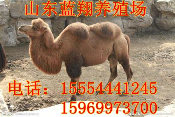 骆驼可以在动物园,公园,旅游景区,俱乐部,农家乐,休闲山庄,度假