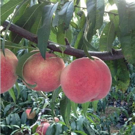 求购供应晚熟桃树品种介绍