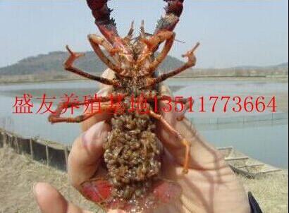 仙桃优质龙虾苗养殖批发