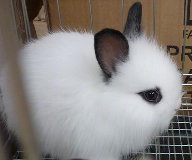 河南省洛�市哪里有�u花巨兔大耳兔的