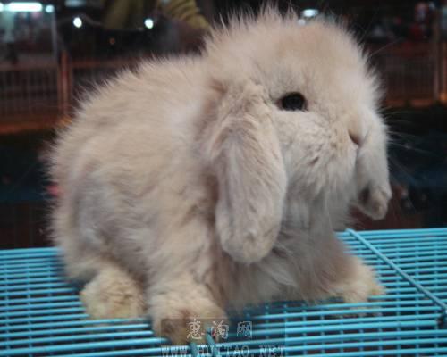 河南省洛�市哪里有�u比利�r肉兔和野�u的