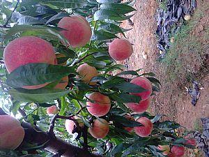 晚熟桃树苗求购代理种植