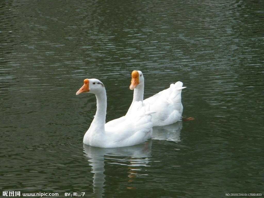 四季鹅苗皖西鹅苗皖杂鹅苗大种鹅苗安徽湖南江西大量出售