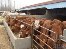 邳州市改良育肥小牛多少钱