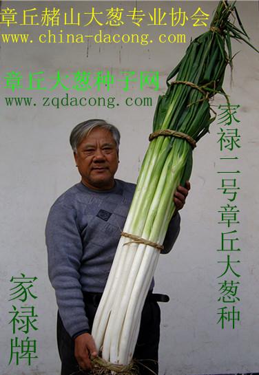 章丘大葱种子生产基地 超高产大葱种子 家禄三号 山东大葱高产新品种 章丘大葱种子网