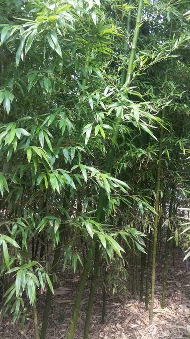 北方气候绿化竹苗天津景观绿化竹子种植场