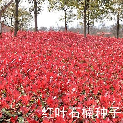 红叶石楠种子出售