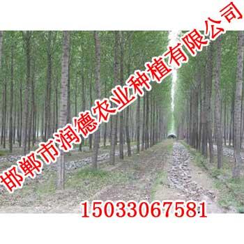 购买柳树、就来【邯郸润德农业】